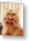 Persian Greeting Cards - Wet  Persian Cat Greeting Card by Hulya Ozkok