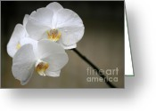 Moth Orchids Greeting Cards - Wet White Orchids Greeting Card by Sabrina L Ryan