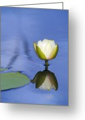 Lily Pad Greeting Cards Greeting Cards - Wetland Lily Greeting Card by Patrick M Lynch