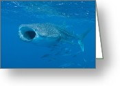 Species Greeting Cards - Whale Shark, Ari And Male Atoll Greeting Card by Mathieu Meur