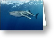 Tofu Greeting Cards - Whale Shark Cocos Island Greeting Card by Flip Nicklin