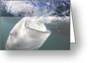 Tofu Greeting Cards - Whale Shark Feeding Cenderawasih Bay Greeting Card by Reinhard Dirscherl