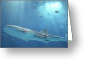 Swimming Photo Greeting Cards - Whale Shark Greeting Card by IMAZU Mitsumasa
