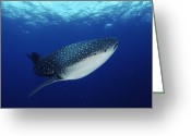 Tofu Greeting Cards - Whale Shark Rhincodon Typus Greeting Card by Jurgen Freund