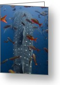 Tofu Greeting Cards - Whale Shark Rhincodon Typus Swimming Greeting Card by Pete Oxford