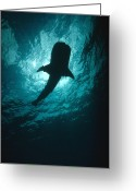 Tofu Greeting Cards - Whale Shark Silhouette Cocos Island Greeting Card by Flip Nicklin