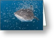 Tofu Greeting Cards - Whale Shark Swimming Through School Greeting Card by Reinhard Dirscherl