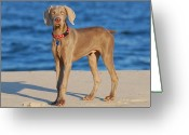 Weim Greeting Cards - What - Weimaraner Puppy Greeting Card by Angie McKenzie