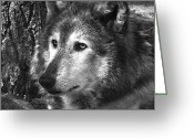 White Wolf Greeting Cards - What is a Wolf Thinking Greeting Card by Karol  Livote
