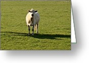 Charolais Greeting Cards - Whatcha doing Greeting Card by Nick Kloepping