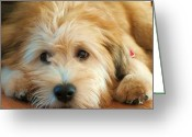 Terriers Greeting Cards - Wheaten Terrier 1 Greeting Card by Vijay Sharon Govender