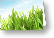 Dew Greeting Cards - Wheatgrass against a white Greeting Card by Sandra Cunningham