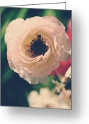 Ranunculus Photo Greeting Cards - When Love Was Fresh and New Greeting Card by Laurie Search