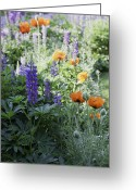 Lupines Greeting Cards - Where the Flowers Grow Greeting Card by Madeline Ellis