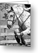 Dressage Digital Art Greeting Cards - Wheres Toto Greeting Card by East Coast Barrier Islands Betsy A Cutler