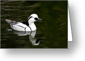 Puddle Greeting Cards - White and Black Duck Greeting Card by Douglas Barnett