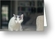 Indoors Home Greeting Cards - White And Grey Cat On Couch Looking At Birds Greeting Card by Cindy Prins