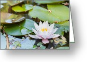 Knob Greeting Cards - White and Pink Water Lily Greeting Card by Semmick Photo