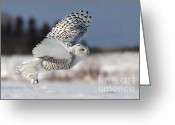 Owl Photography Greeting Cards - White angel - Snowy owl in flight Greeting Card by Mircea Costina Photography