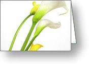 Fleur Greeting Cards - White arums in studio. Flowers. Greeting Card by Bernard Jaubert