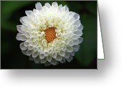 Dahlia Greeting Cards - White Beautiful  Dahlia Greeting Card by Photography by Dalang5