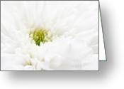 Chrysanthemum Greeting Cards - White beauty Greeting Card by Kristin Kreet