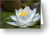 Water Lilly Greeting Cards - White Beauty... Greeting Card by Nina Stavlund