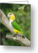Amazon Greeting Cards - White-bellied Parrot Greeting Card by Tony Camacho