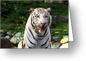 Whiskers Photo Greeting Cards - White Bengal tiger  Greeting Card by Garry Gay