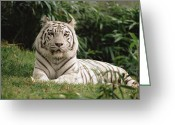 Threatened Species Greeting Cards - White Bengal Tiger Panthera Tigris Greeting Card by Gerry Ellis