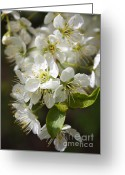 White And Green Greeting Cards - White Blossoms Closeup Greeting Card by Carol Groenen