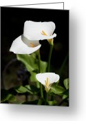 Stamen Greeting Cards - White Calla Lilies Greeting Card by Tobias Titz
