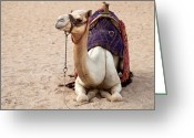 Arabia Greeting Cards - White camel Greeting Card by Jane Rix