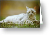 Camera Greeting Cards - White Cat Greeting Card by Alberto Cassani