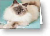 Denmark Greeting Cards - White Cat On Blue Blanket Greeting Card by MariaR