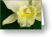 Exotic Orchid Greeting Cards - White Cattleya Orchid Greeting Card by James Temple