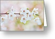 Blossom Greeting Cards - White Cherry Blossom Greeting Card by Jacky Parker Photography
