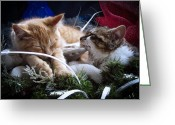 Skates Greeting Cards - White Christmas w Two Kittens Sleeping - Orange Tabby Cat and Maine Coon Kitty Resting on Ice Skates Greeting Card by Chantal PhotoPix