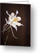 Fine Art Flower Photography Greeting Cards - White Columbine Greeting Card by James Steele