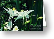 Green And White Greeting Cards - White Columbines 2 Greeting Card by Sarah Loft