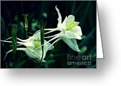 Green And White Greeting Cards - White Columbines Greeting Card by Sarah Loft