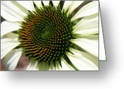 Orange Daisy Photo Greeting Cards - White Coneflower Daisy Greeting Card by Donna Corless
