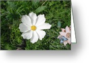 Decor Floral Picture Cards Greeting Cards - White Cosmos Greeting Card by Jeannie Atwater Jordan Allen
