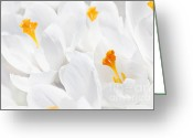 Yellow Crocus Greeting Cards - White crocus blossoms Greeting Card by Elena Elisseeva
