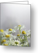 Sunlight Greeting Cards - White Daisies Greeting Card by Carlos Caetano