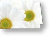 Flora Greeting Cards - White daisies Greeting Card by Elena Elisseeva