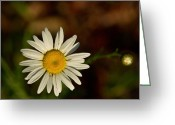 Aster  Greeting Cards - White Daisy 1 Greeting Card by Douglas Barnett