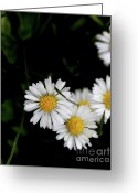 Bellis Greeting Cards - White Daisy Bellis Flower Weed . 7D5838 Greeting Card by Wingsdomain Art and Photography