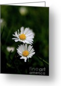 Bellis Greeting Cards - White Daisy Bellis Flower Weed . 7D5853 Greeting Card by Wingsdomain Art and Photography