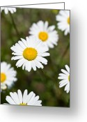 Nh Greeting Cards - White Dasies Greeting Card by Edward Myers